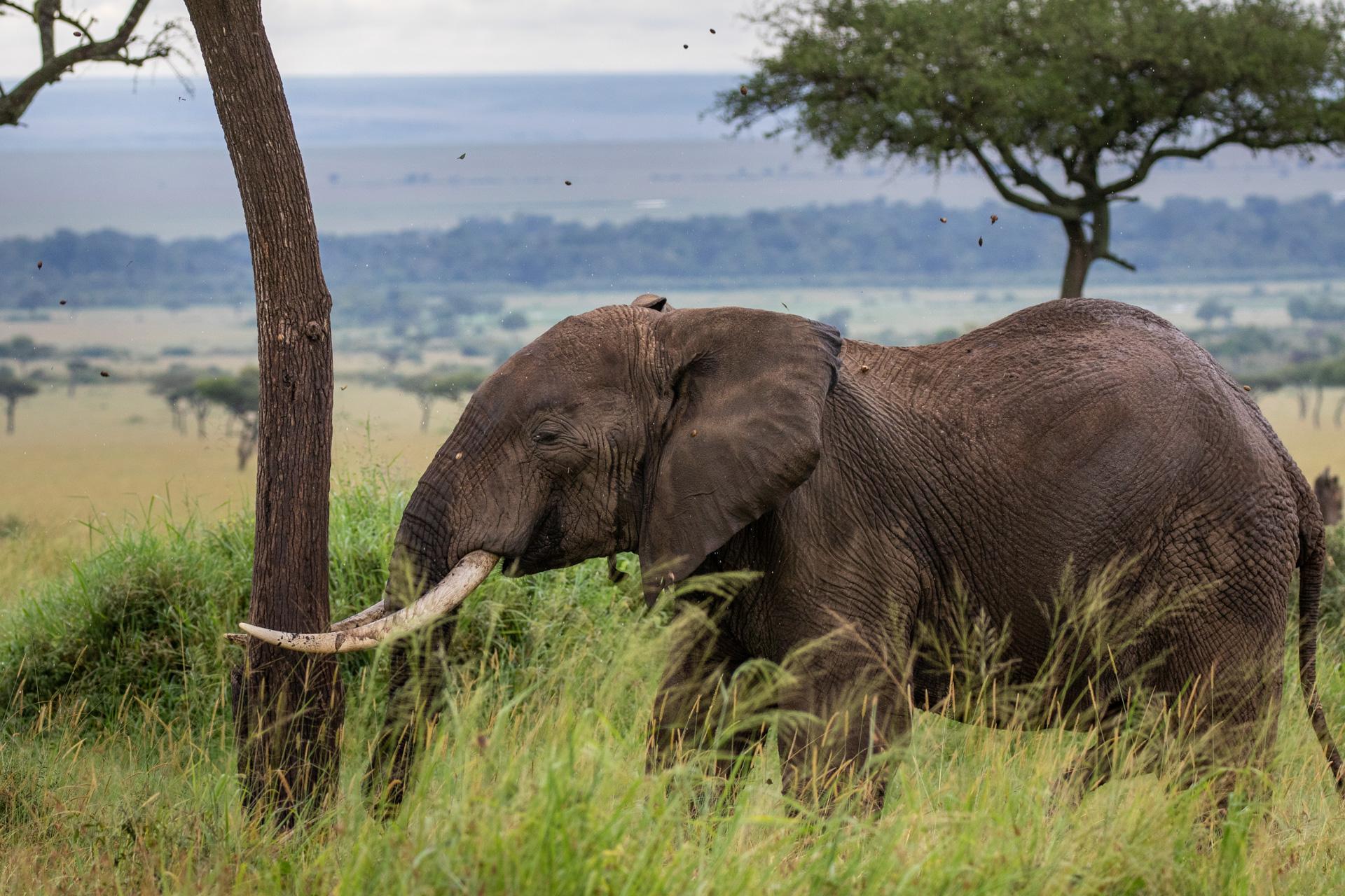 ELEPHANT HEADBUTT 3