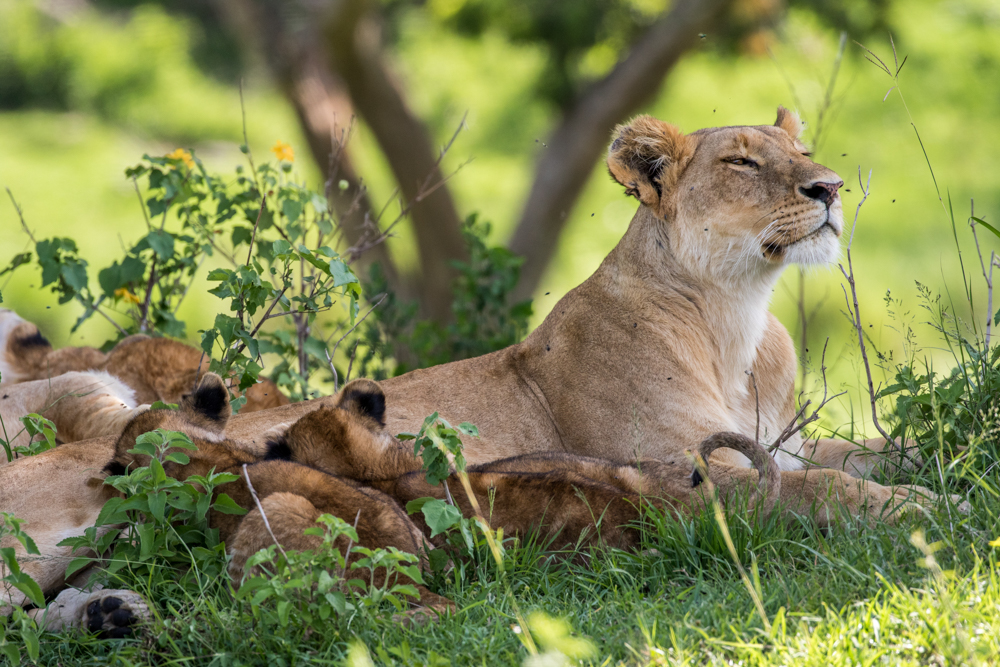A restful moment with cubs