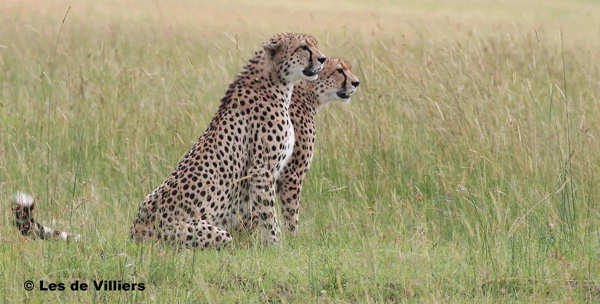 Cheetahs in the Mara
