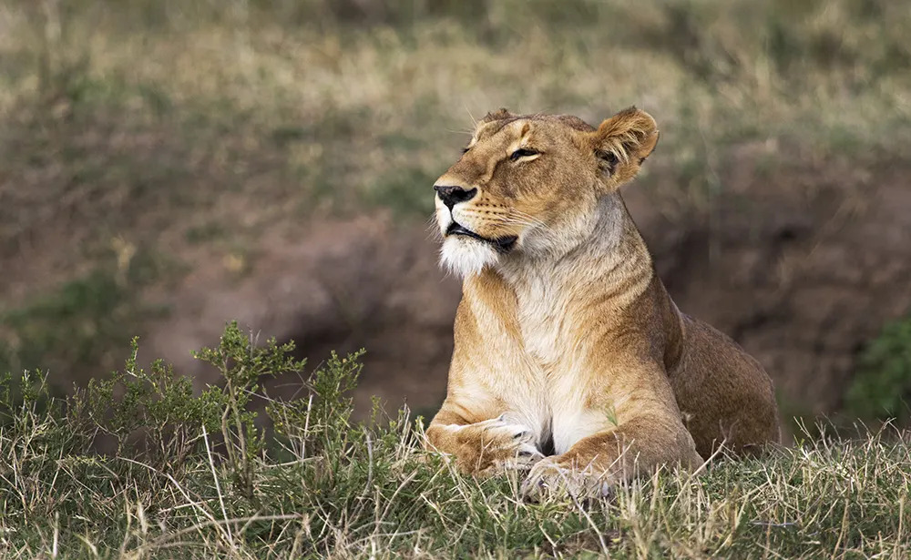 10. The Lioness of Angama Valentines Day_©StarsofAfrica_webb