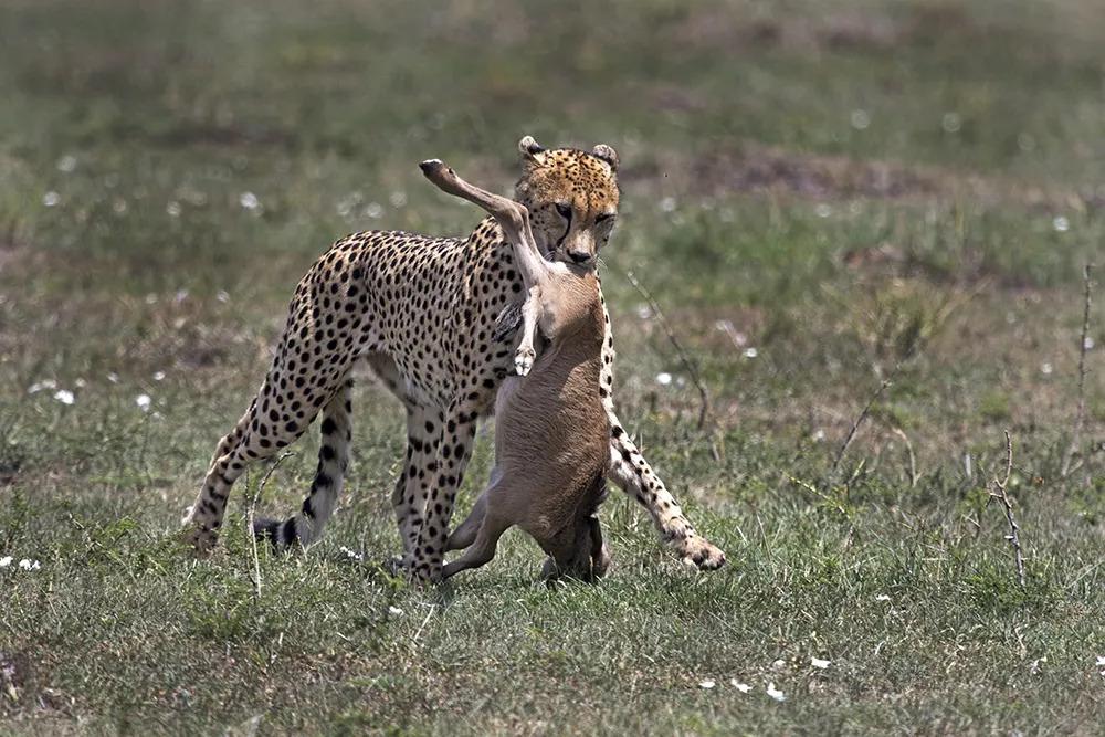 11. Angama Valentines Day Cheetah_©StarsofAfrica_webb