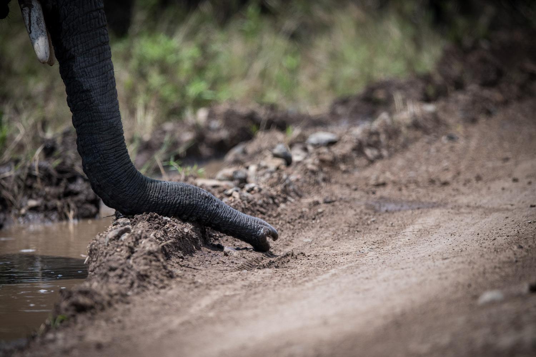 Elephant tusk sniffing