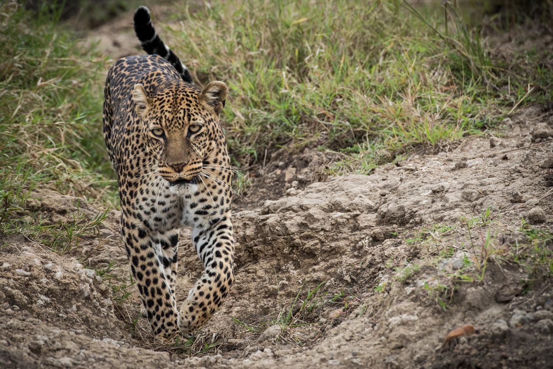 Leopard sighting maasai mara
