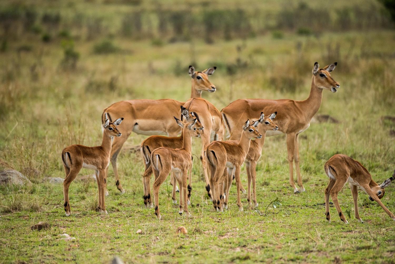 baby impalas in the maasai mara