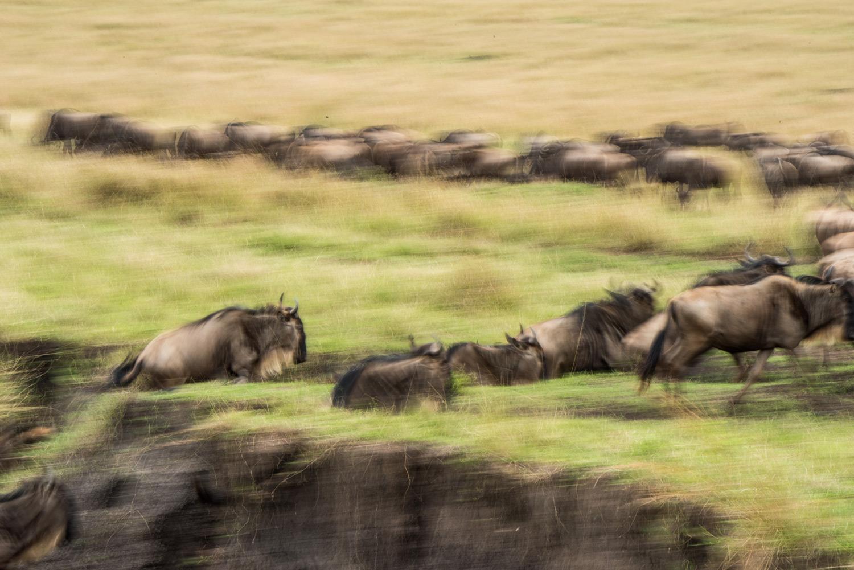 Wildebeest running in the great migration