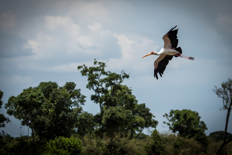Ibis in flight on kenyan safari