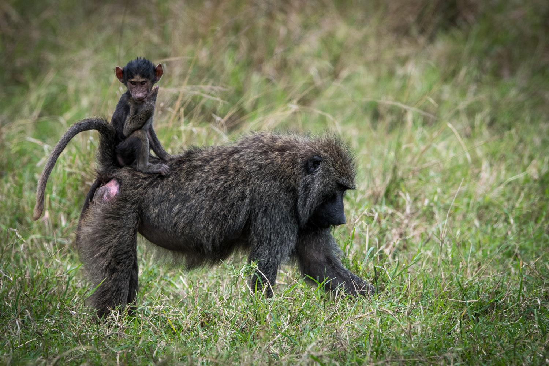 Baby monkey on moms back
