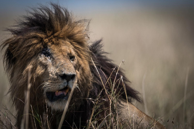 legendary lion scar in kenya's maasai mara