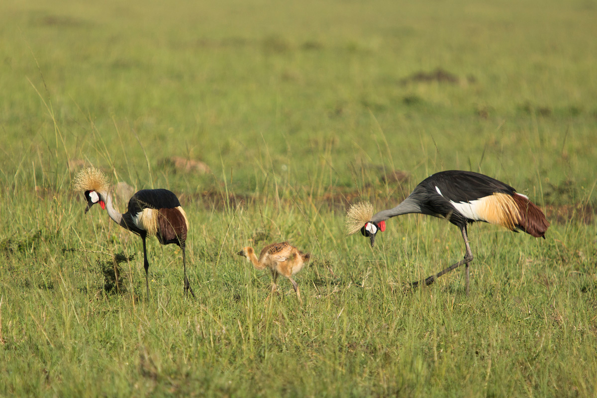 Crowned-cranes with chick