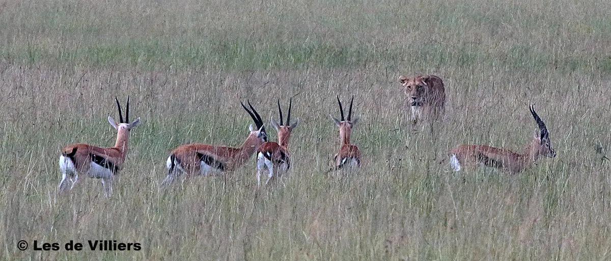 Lion stalking in the Mara - Les de Villiers