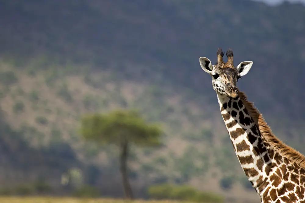 4. Angama Valentines Day Giraffe_©StarsofAfrica_webb