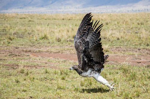 A Martial eagle in full flight