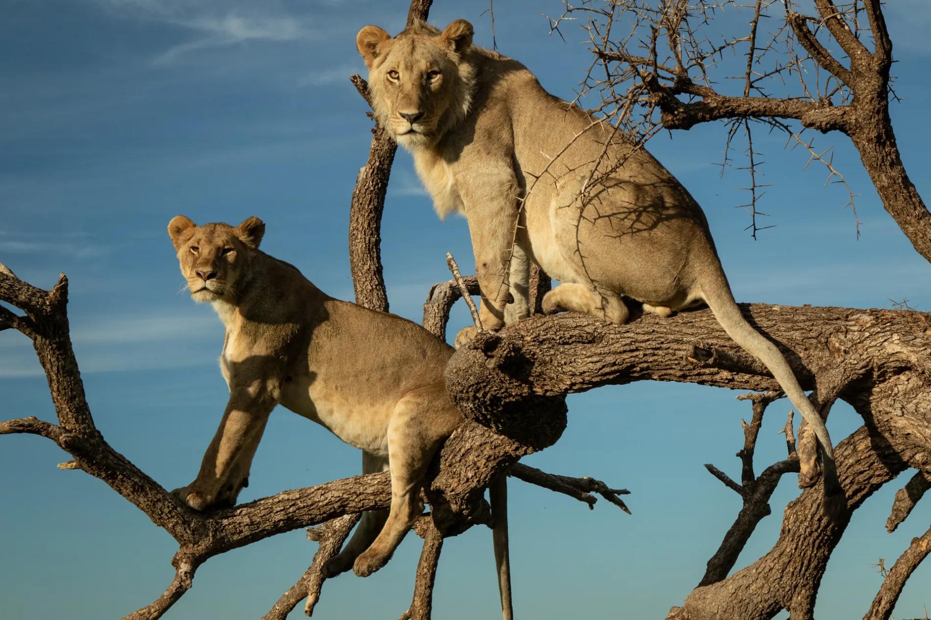 Tree climbing lion mara