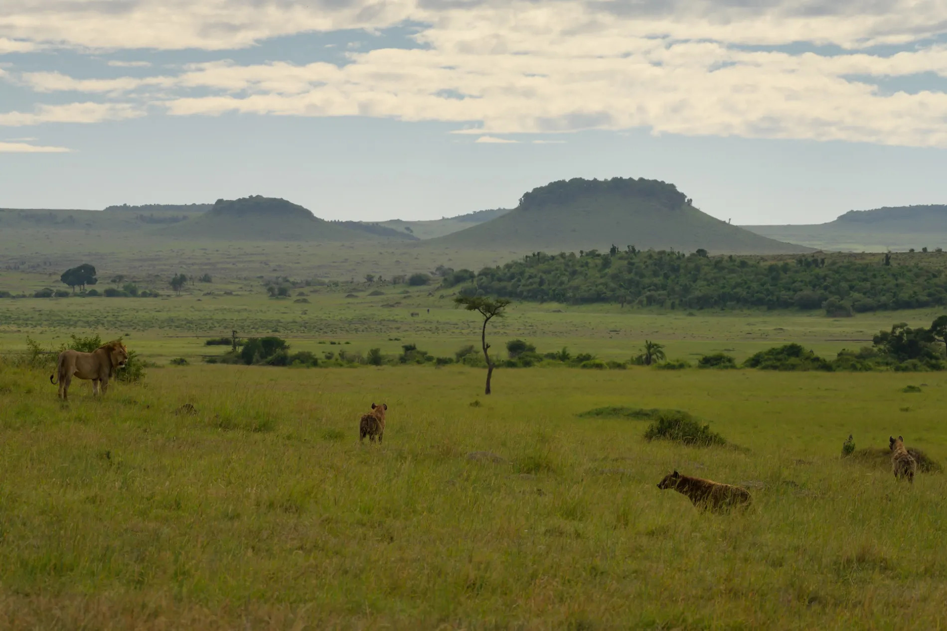Maasai lions and mountains in background