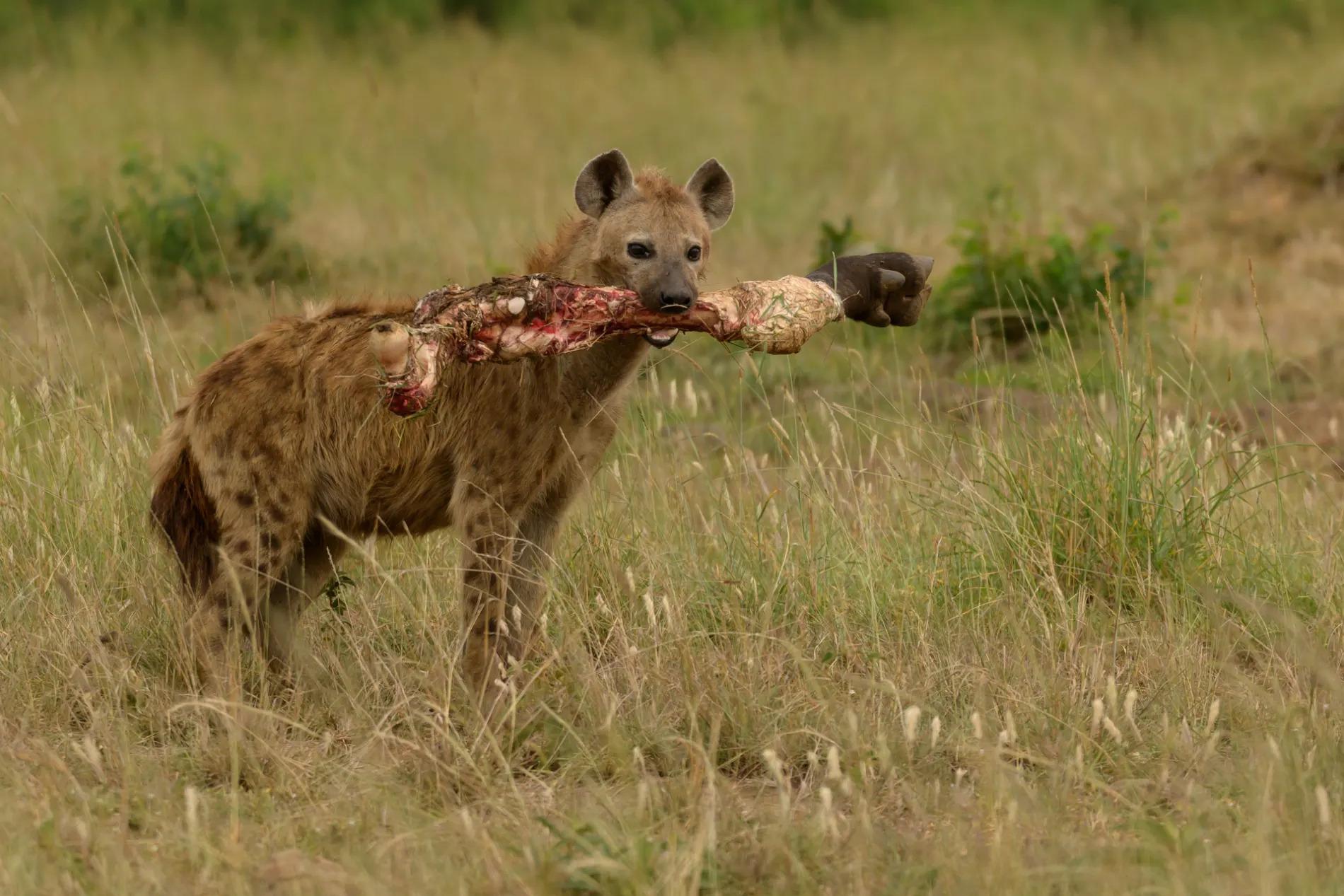 Hyena with leg