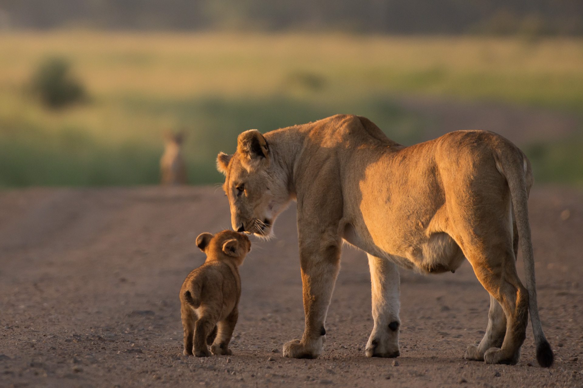 Lioness and cub touching faces