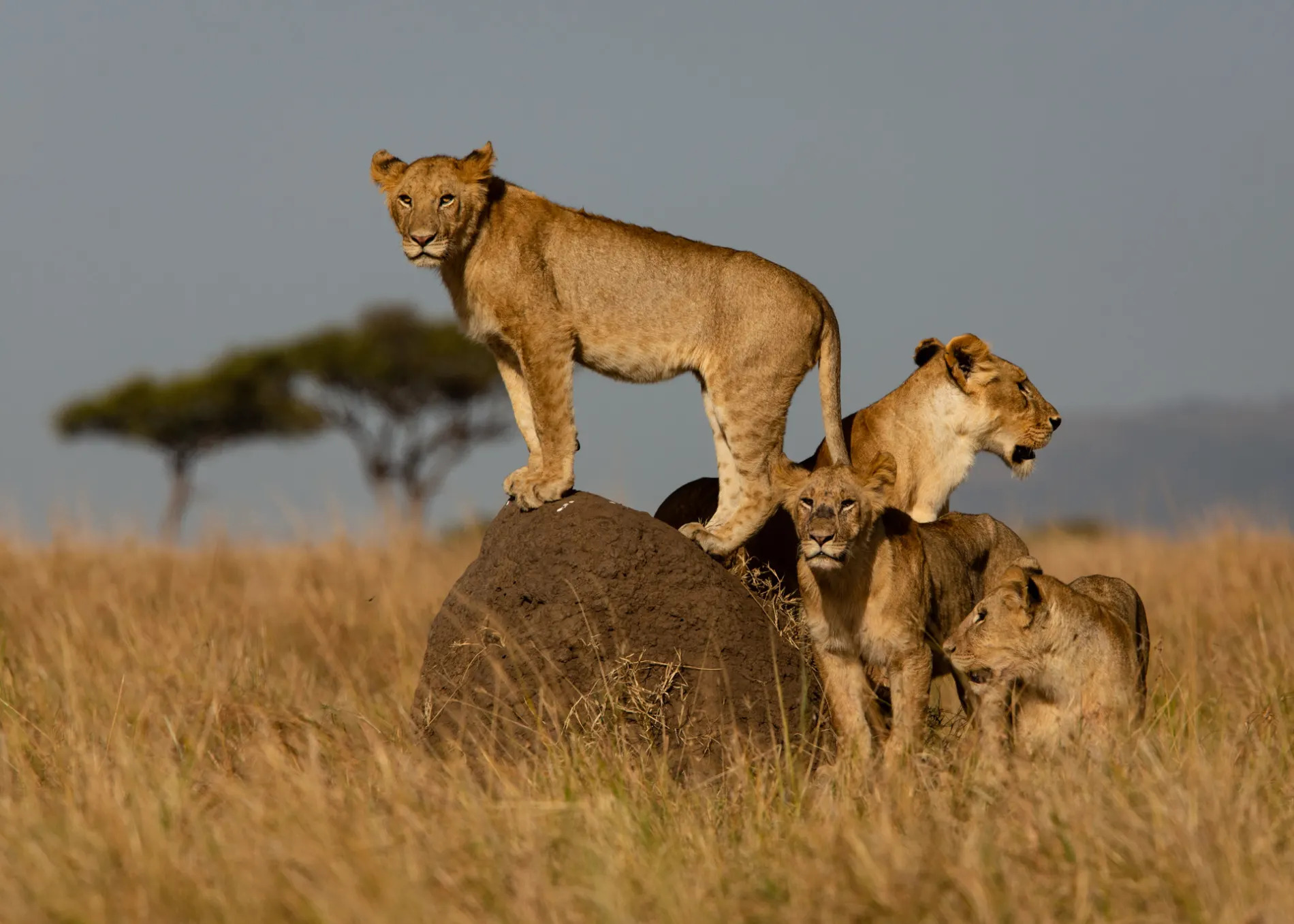 Lions on a termite mound