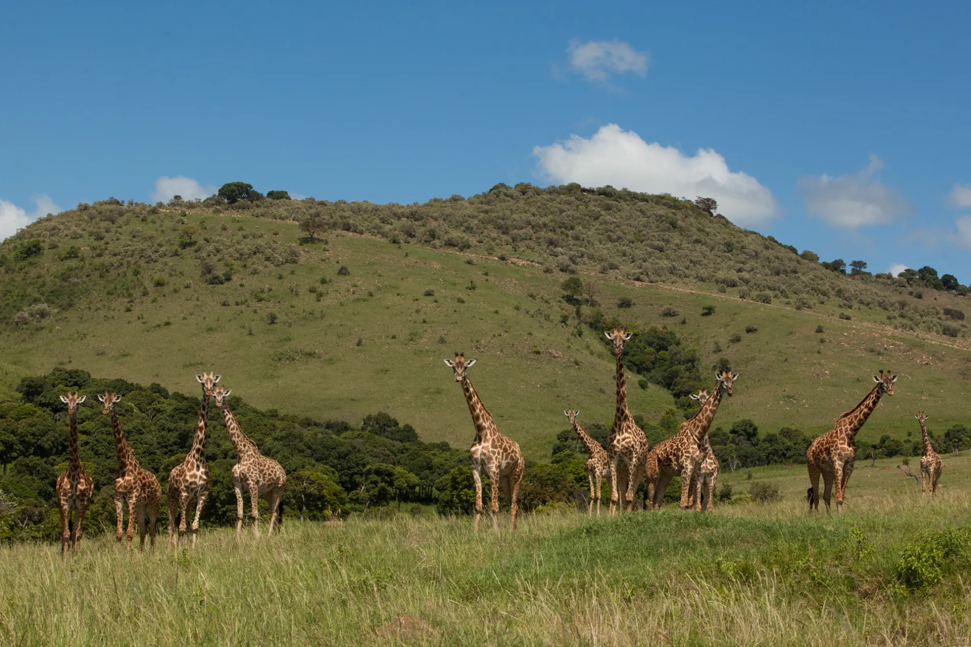 Giraffe and escarpment