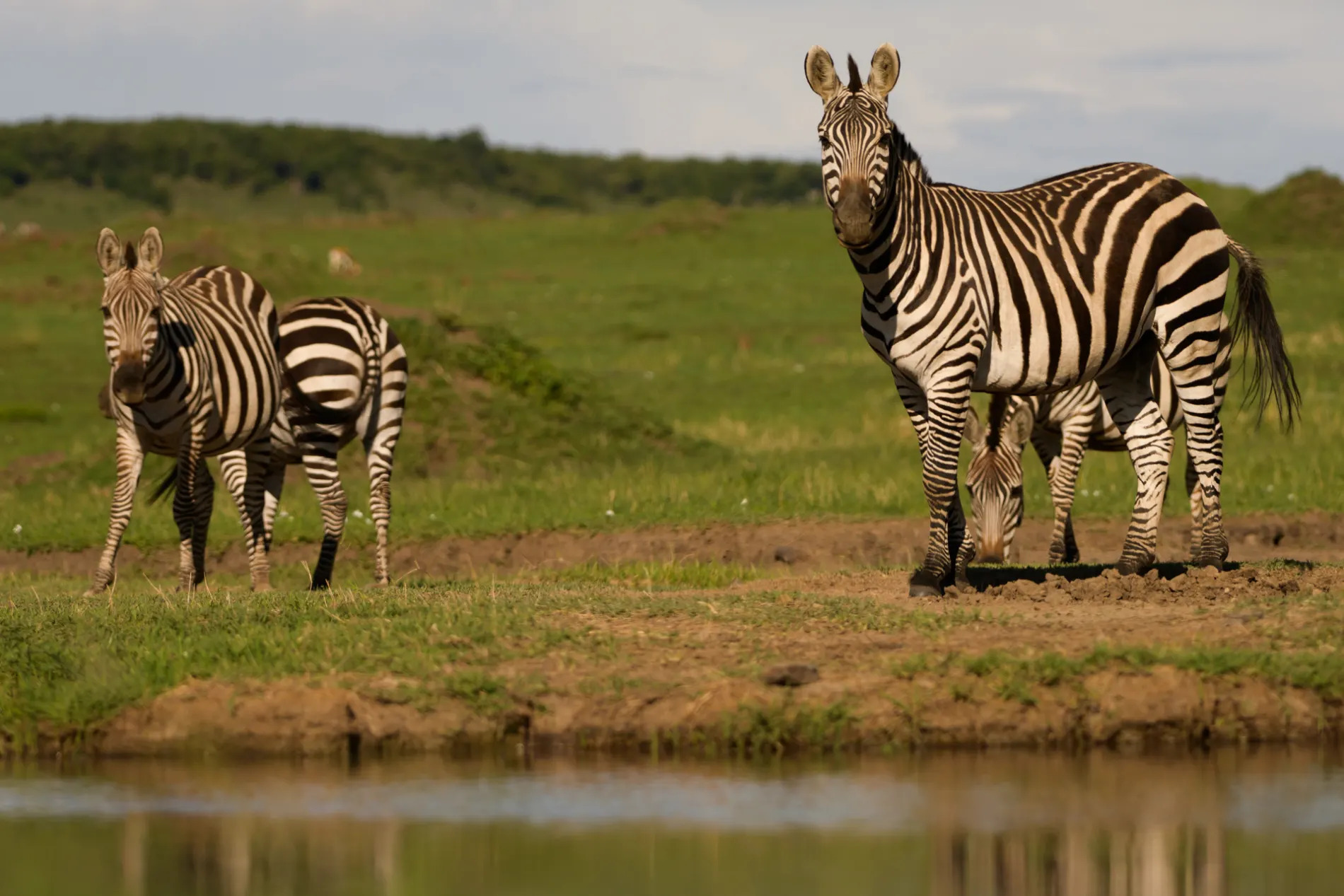 Zebra at the water