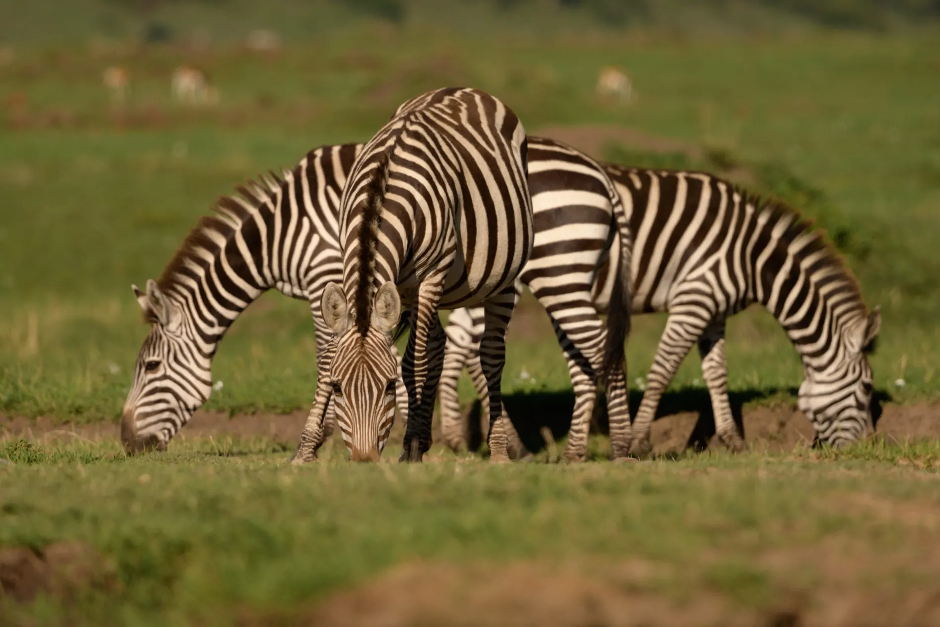 Group of zebra grazing