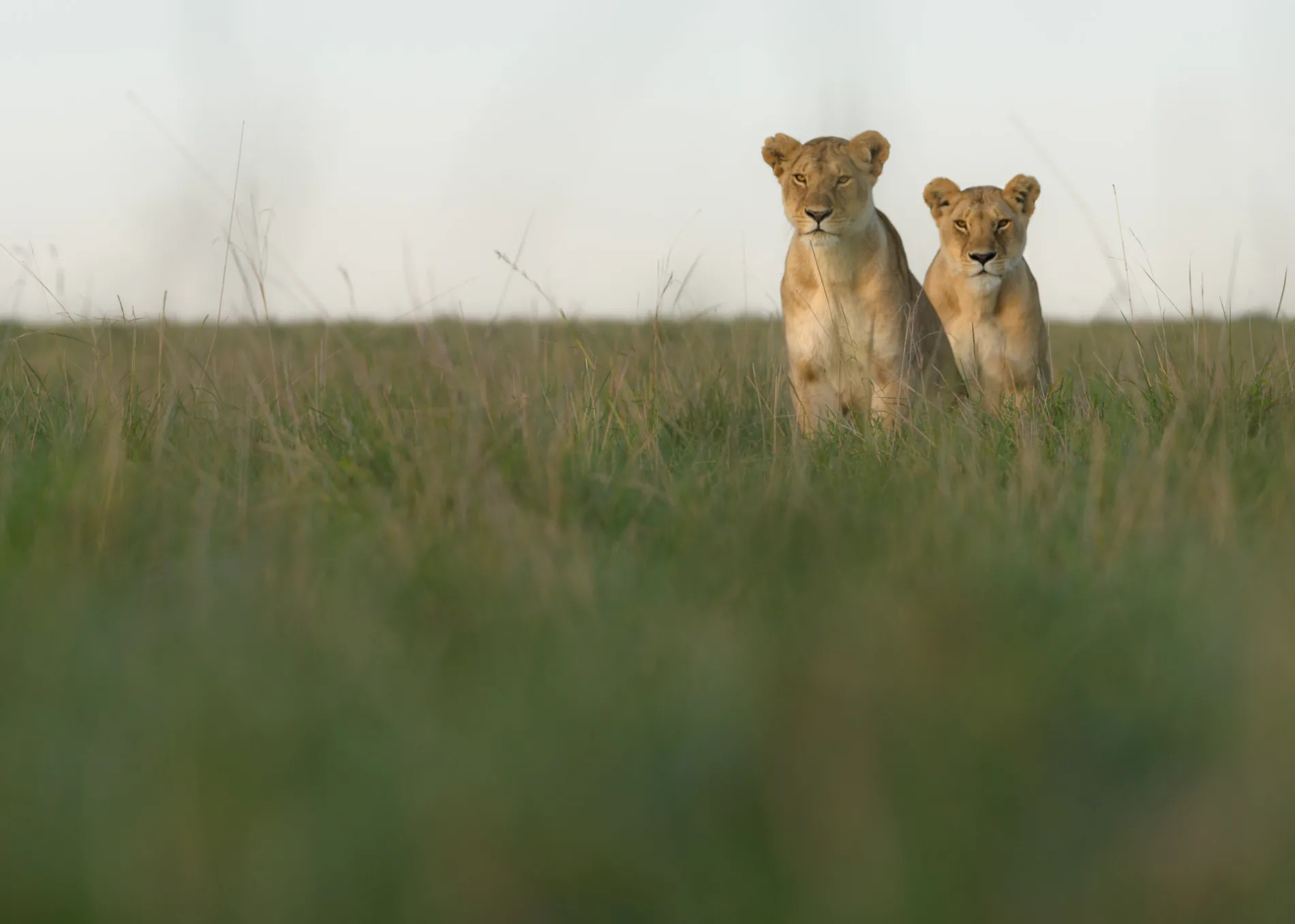lionesses looking
