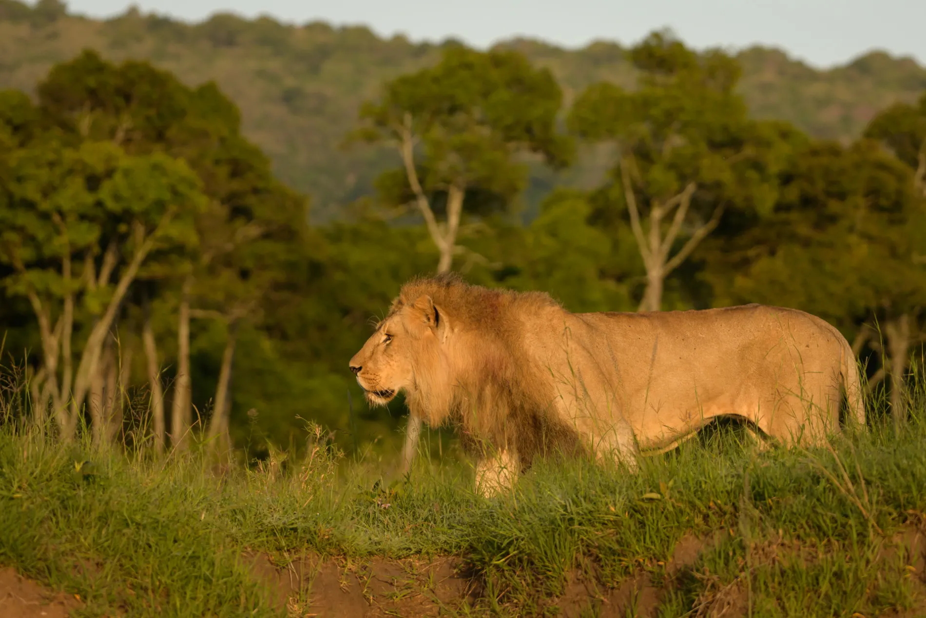 Male lion stalks