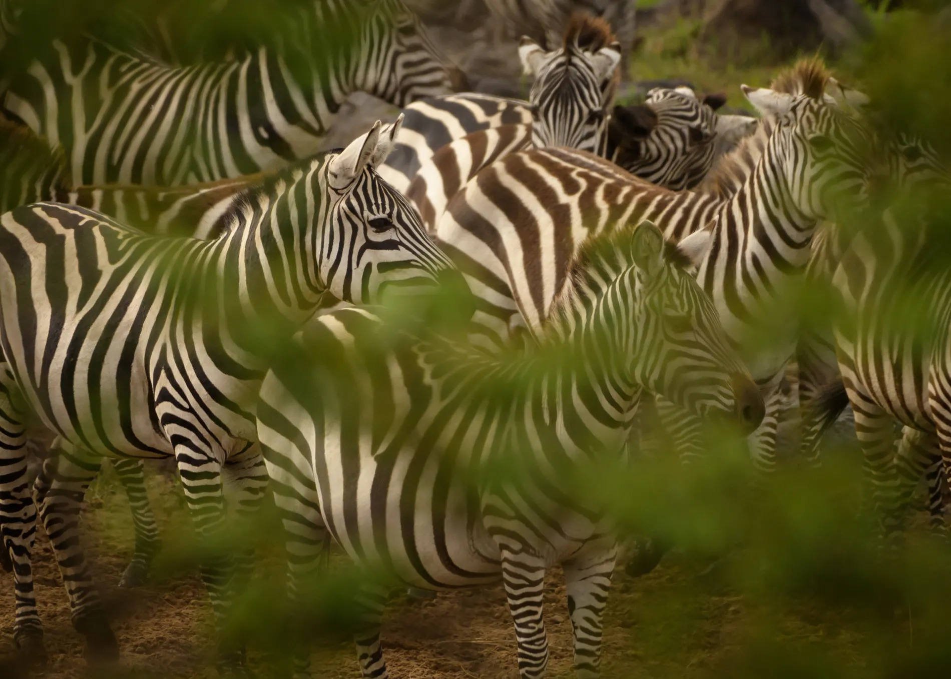 Zebra in the greenery