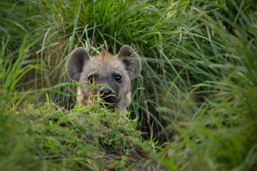 A hyena looking out from it's den