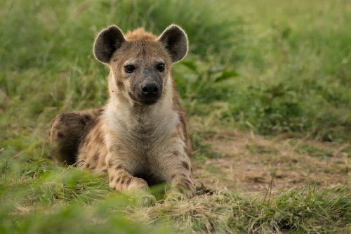 The bold stare of a hyena