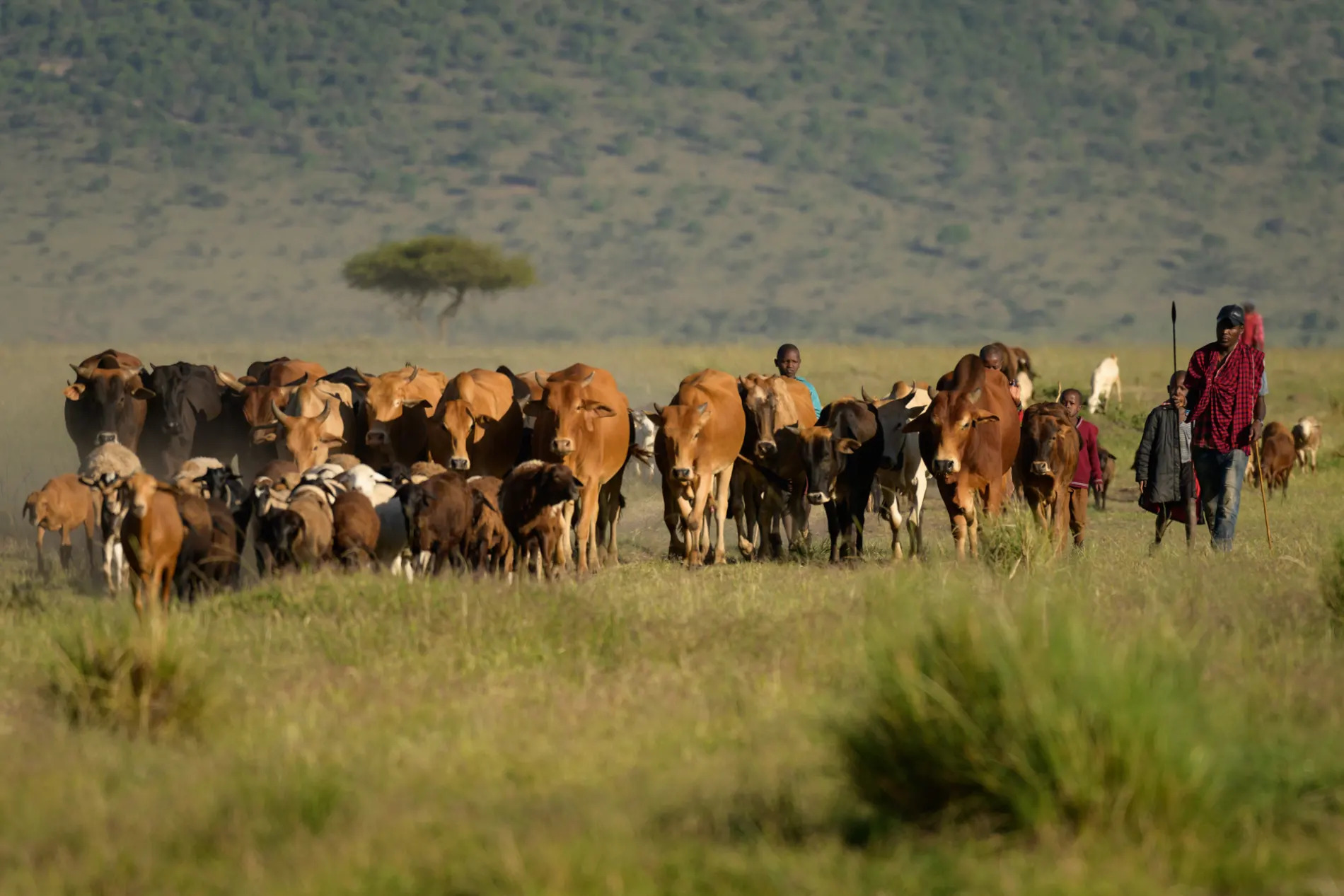 Maasai cows
