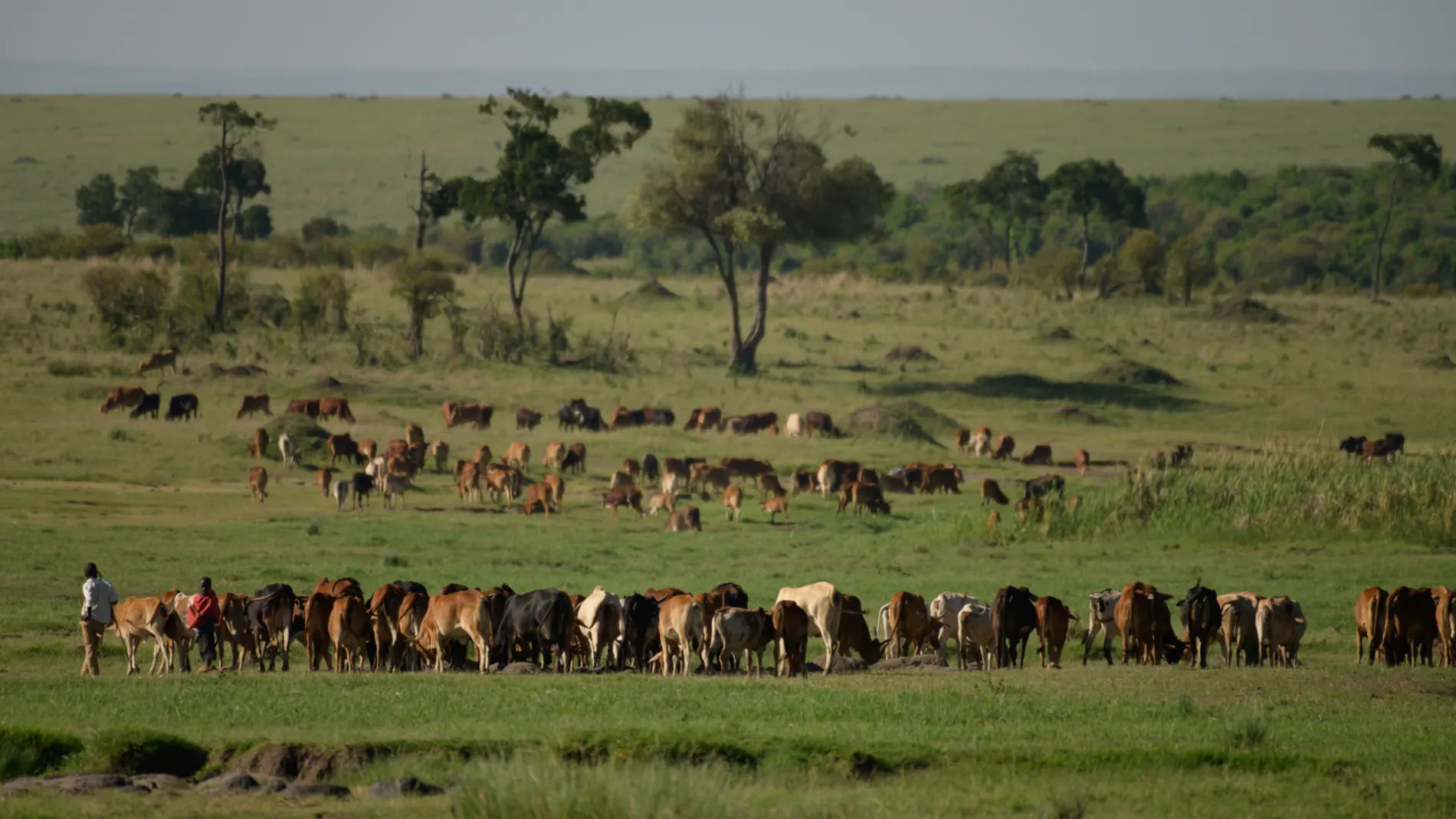 Maasai Cows big herd