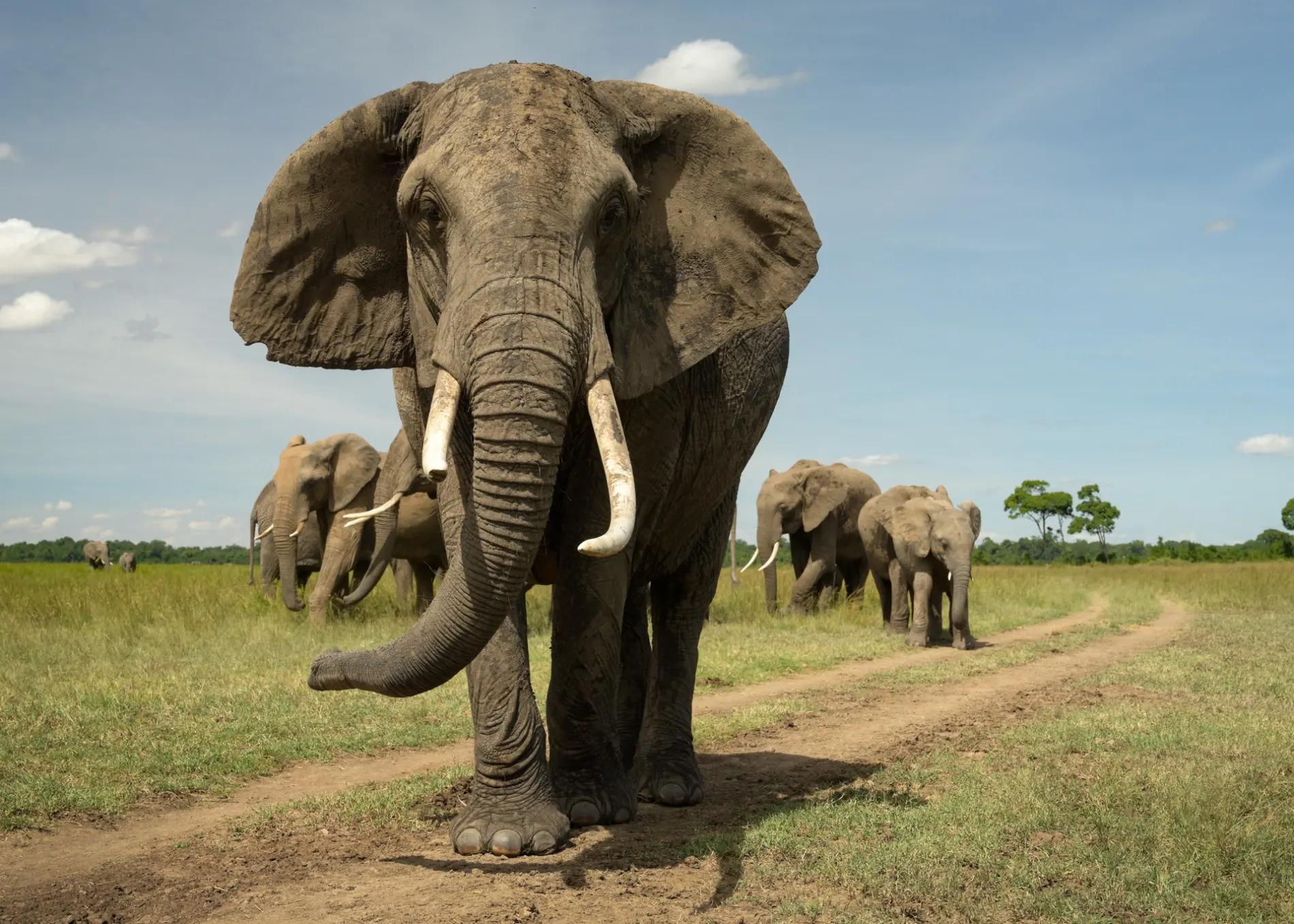Elephant straight on