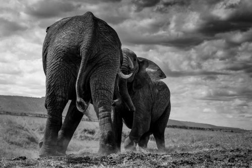 Fighting elephant bulls, converted to black and white