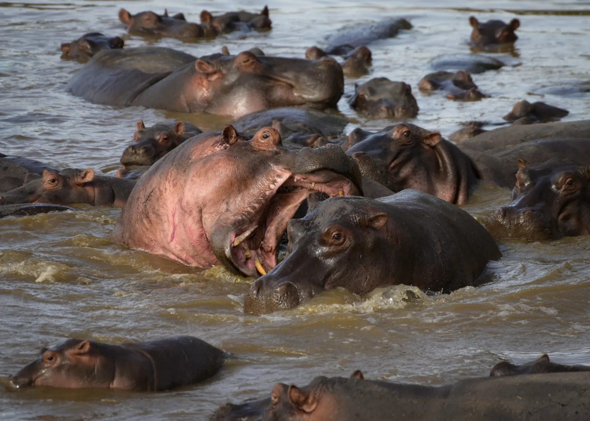 pod of hippo