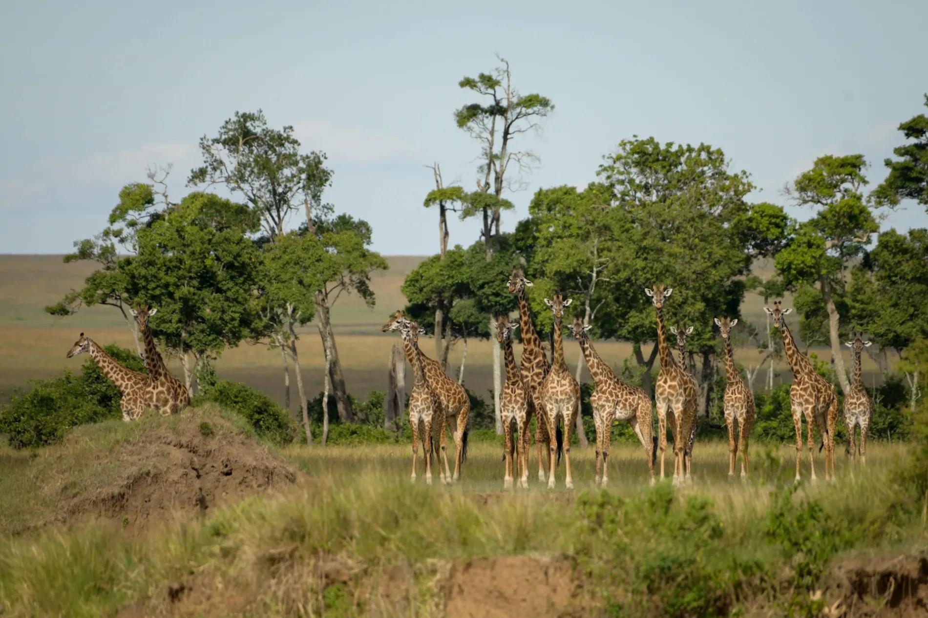 Journey of giraffes