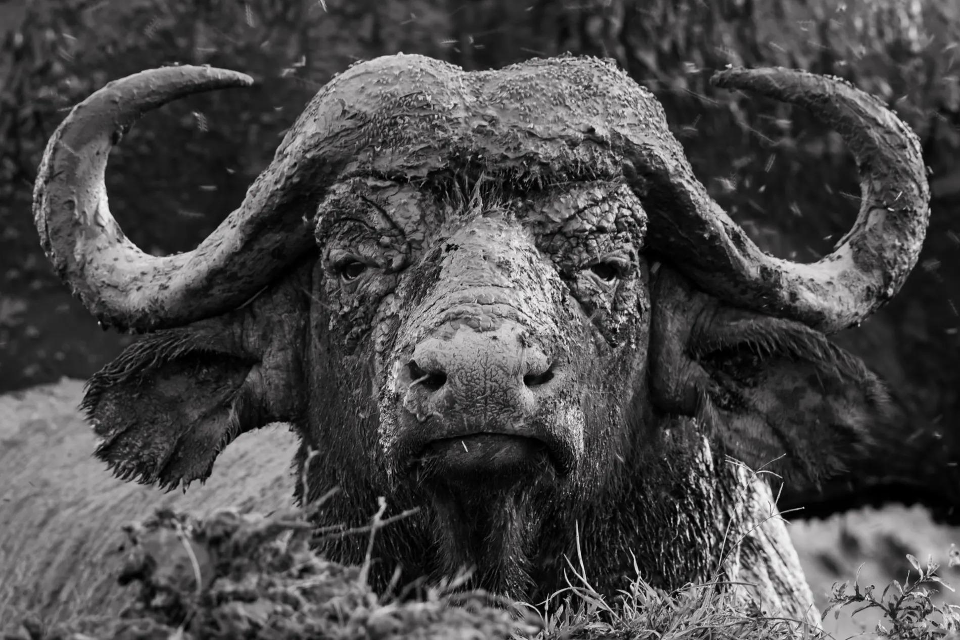Buffalo face