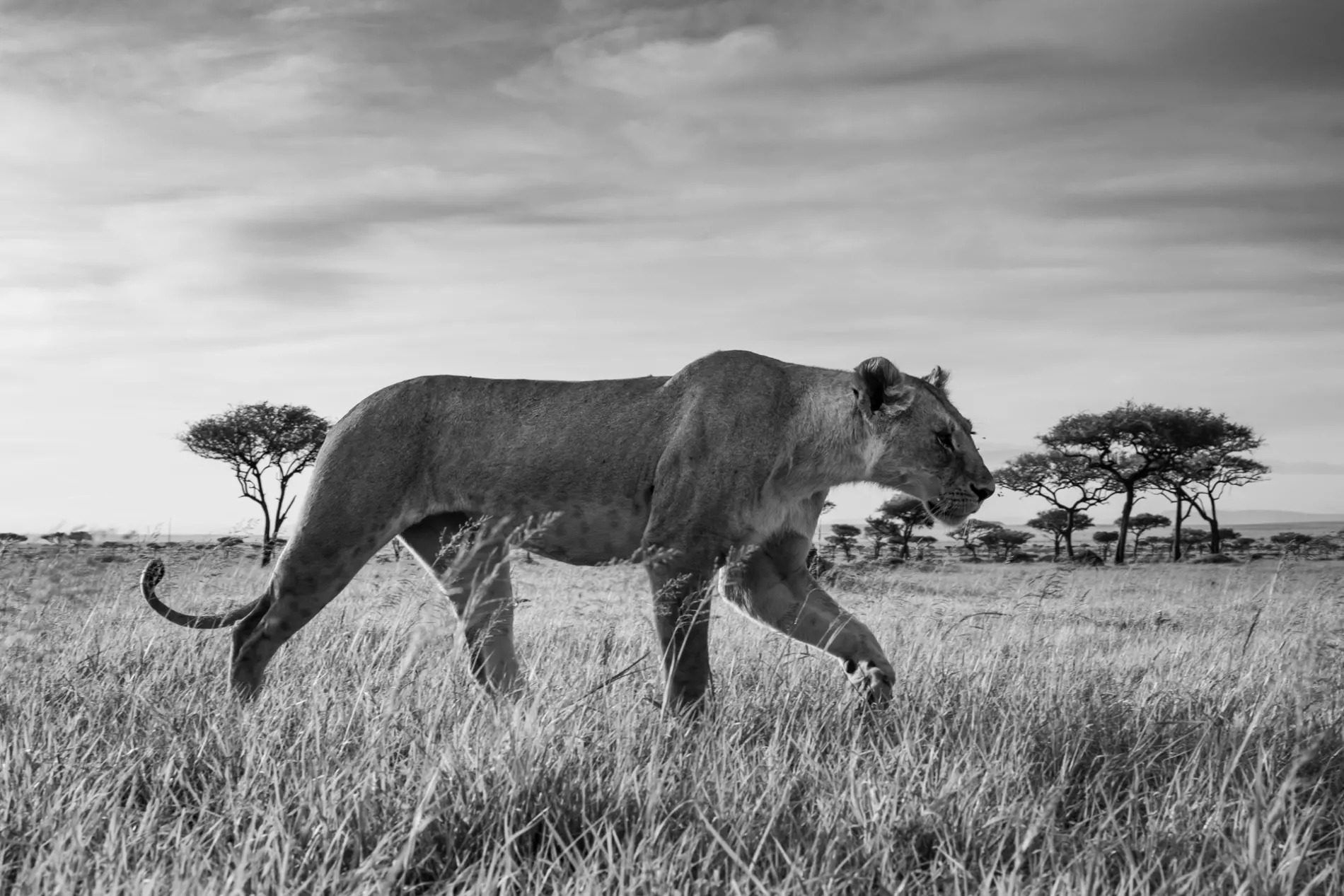 Lioness black and white