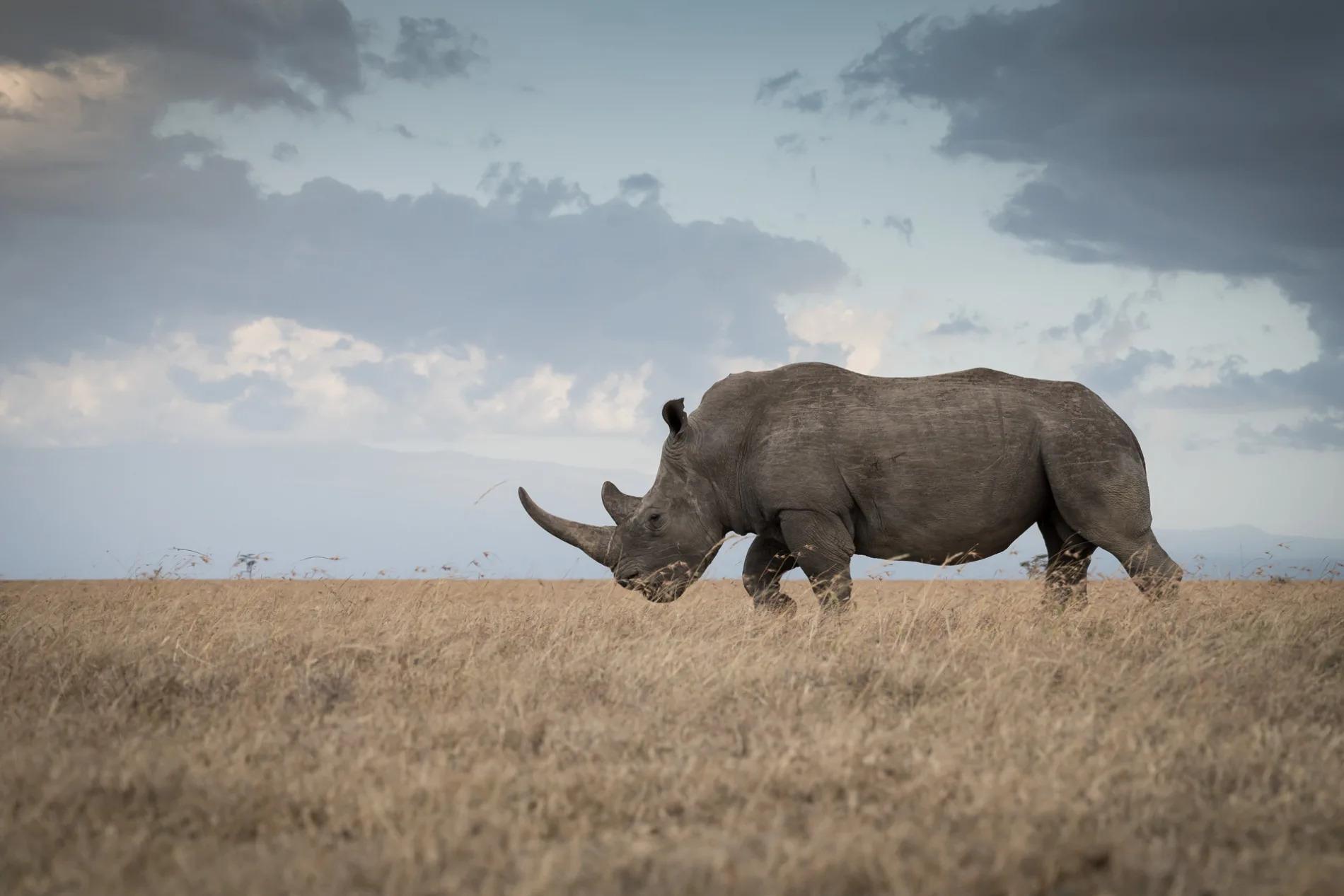 Pejeta black rhino