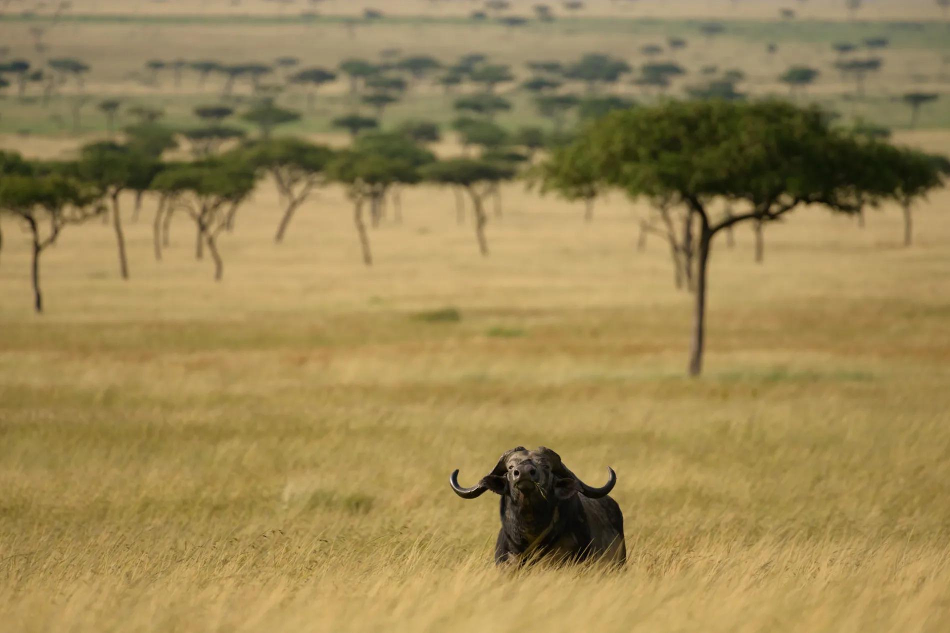 Buffalo in distance
