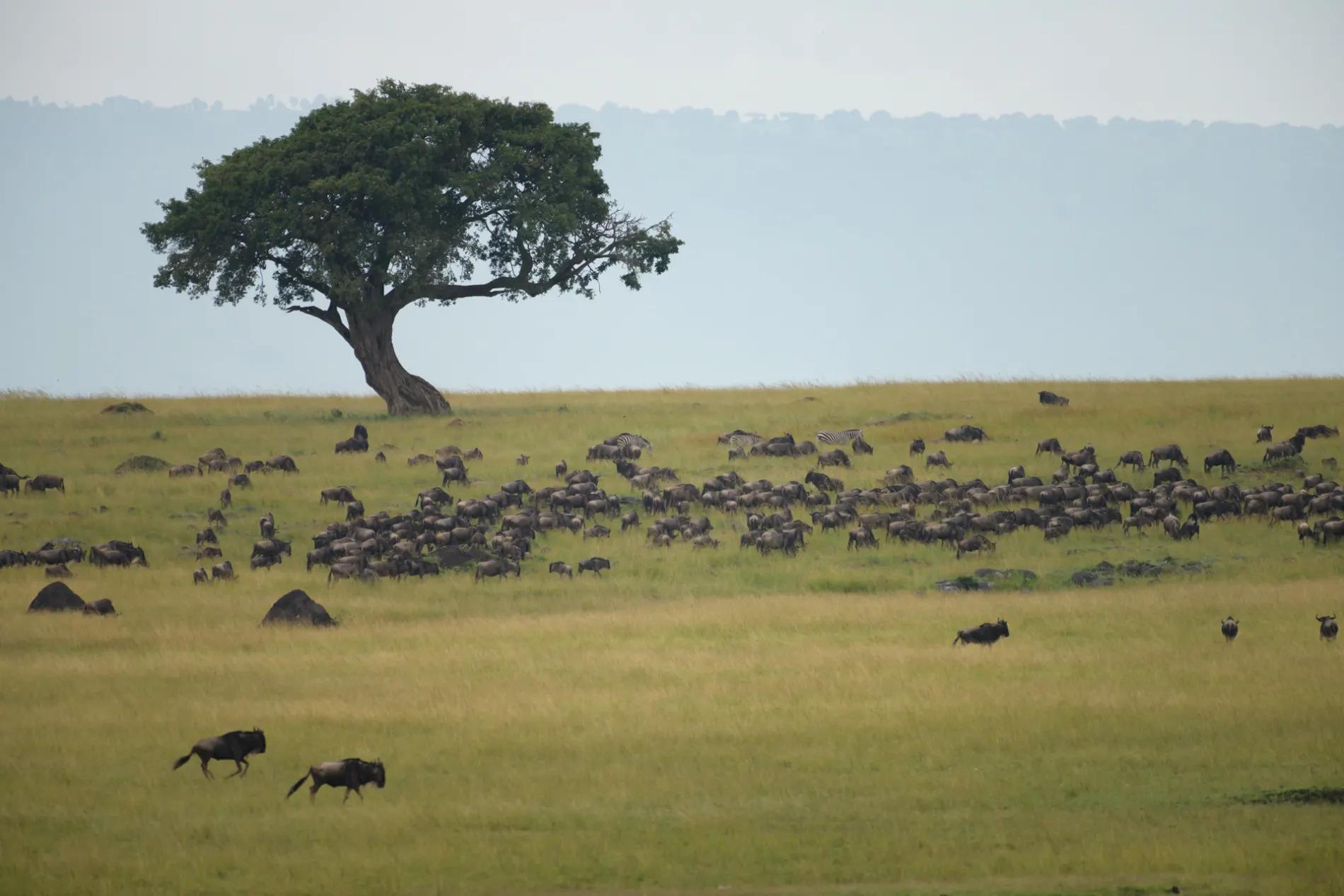 Wildebeest herd on the mara plains