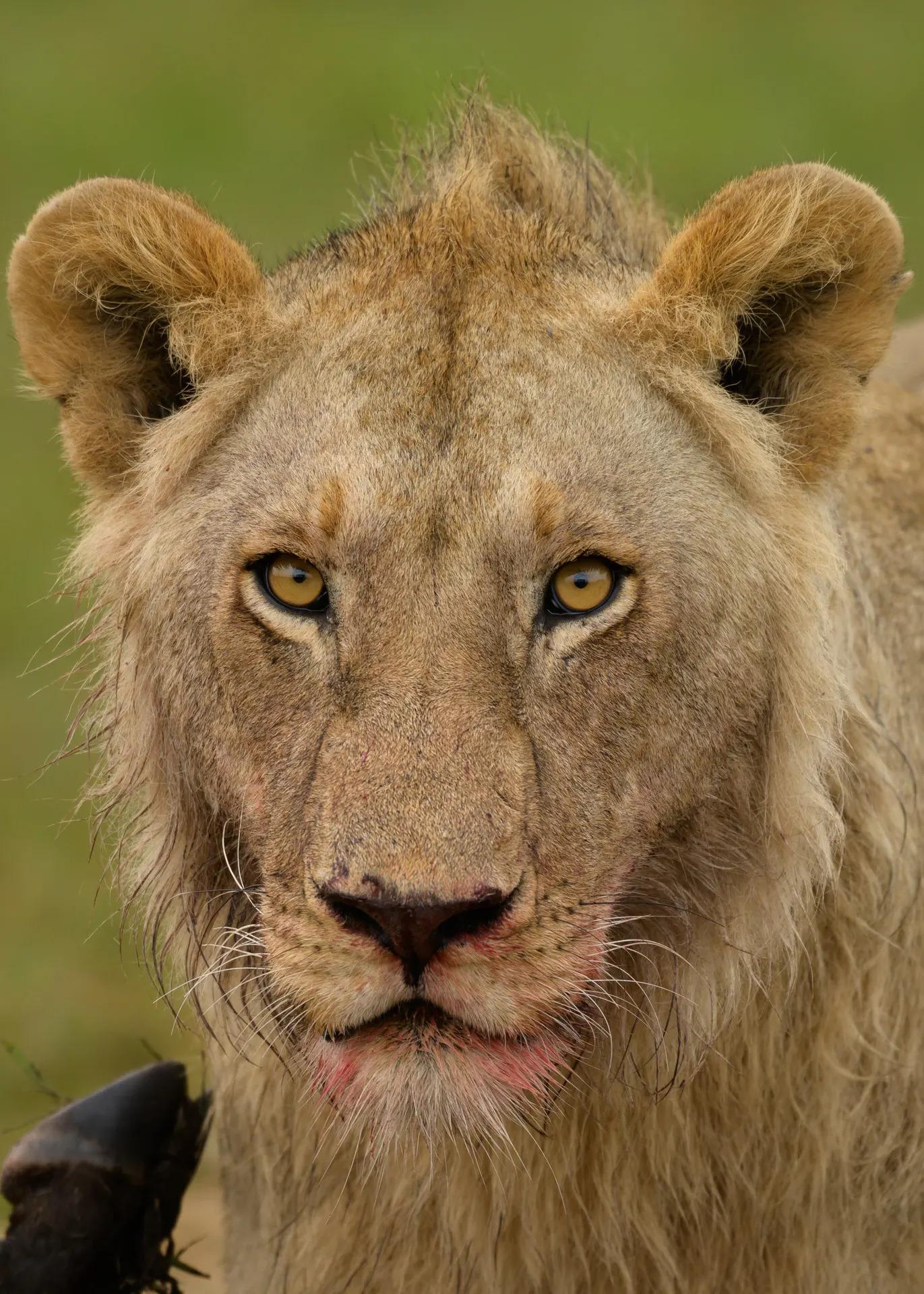Lion blood on face
