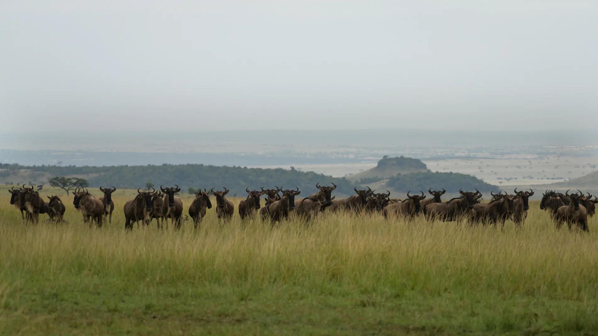 Wildebeest before crossing