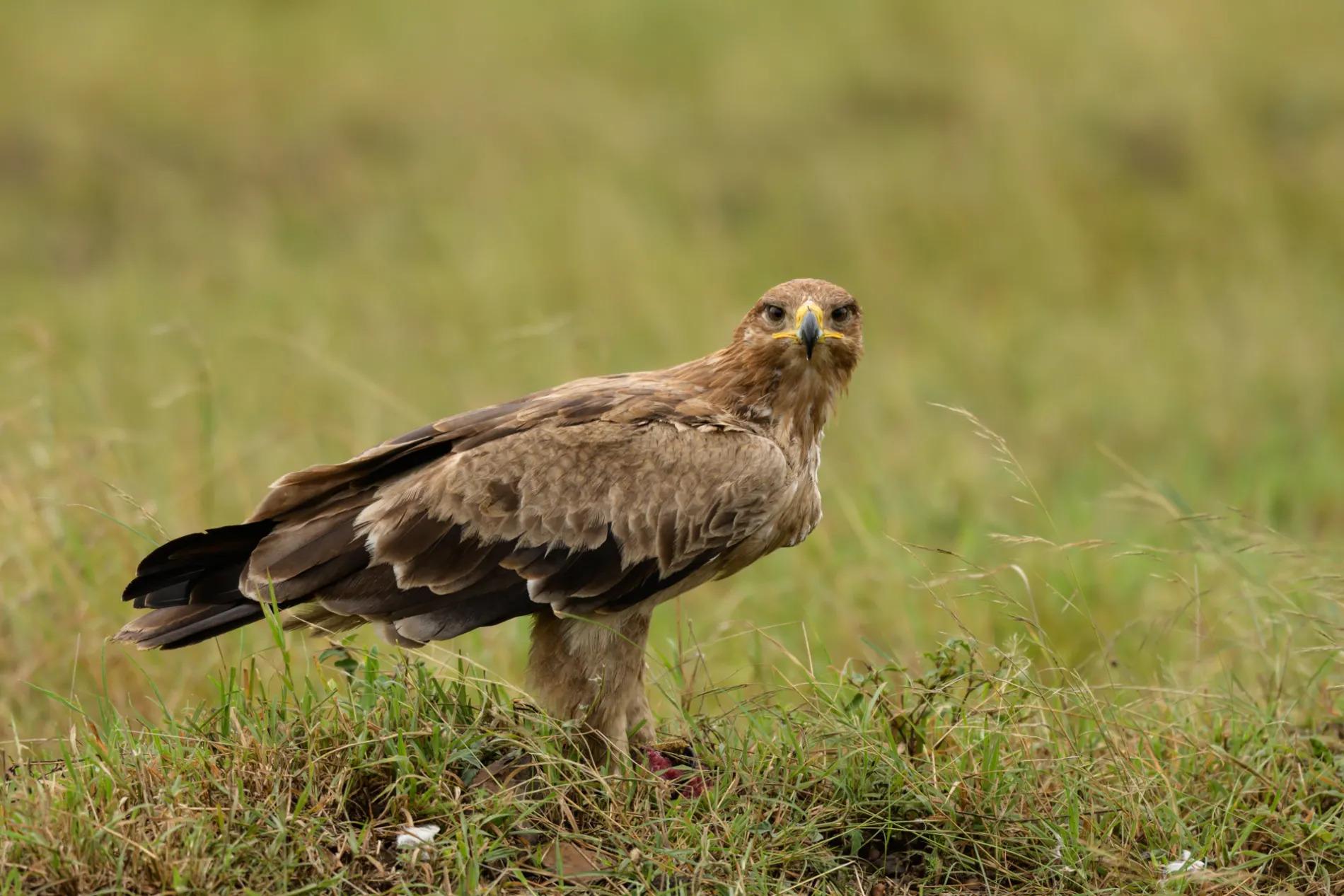 Tawny eagle on kill