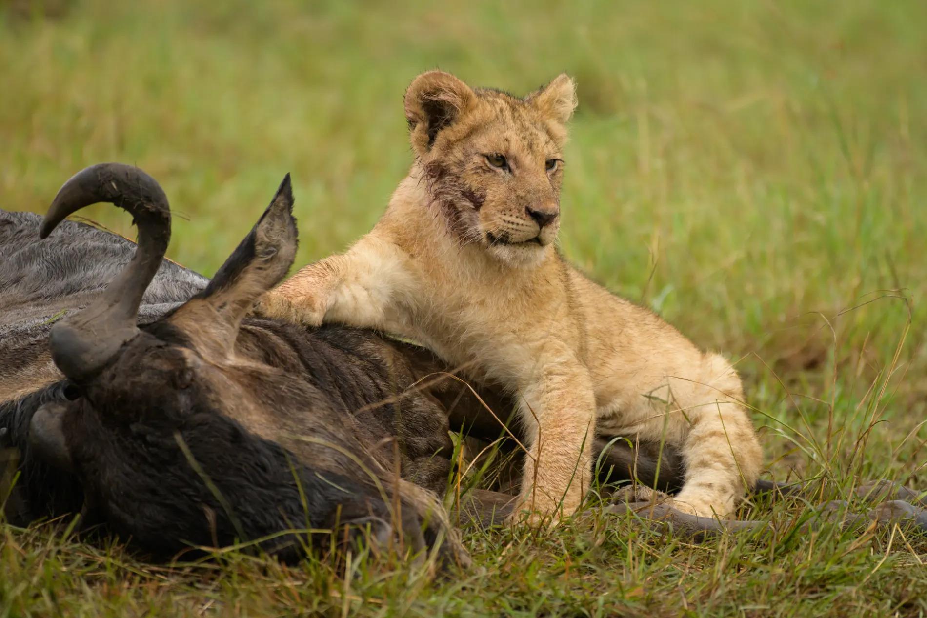 Lion cub Wildebeest kill