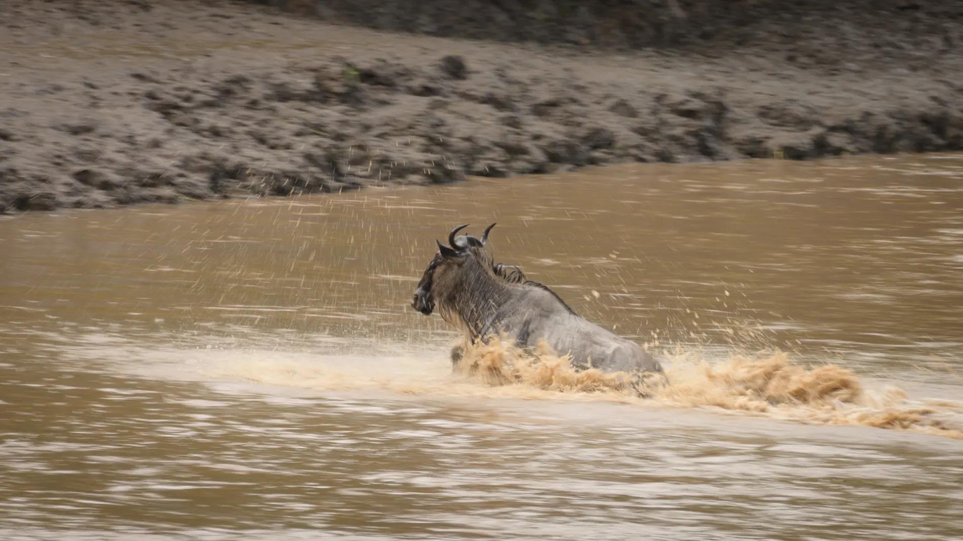 Lone wildebeest crossing river