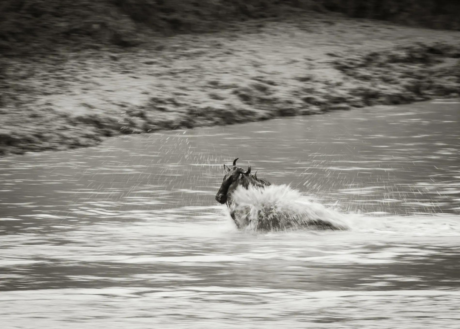 Lone Wildebeest BW