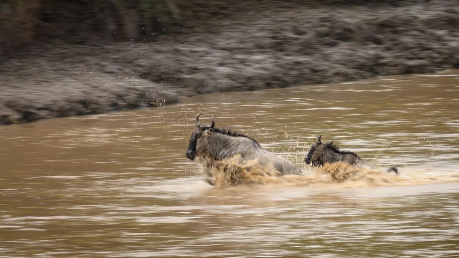 Individual Wildebeest crossing river