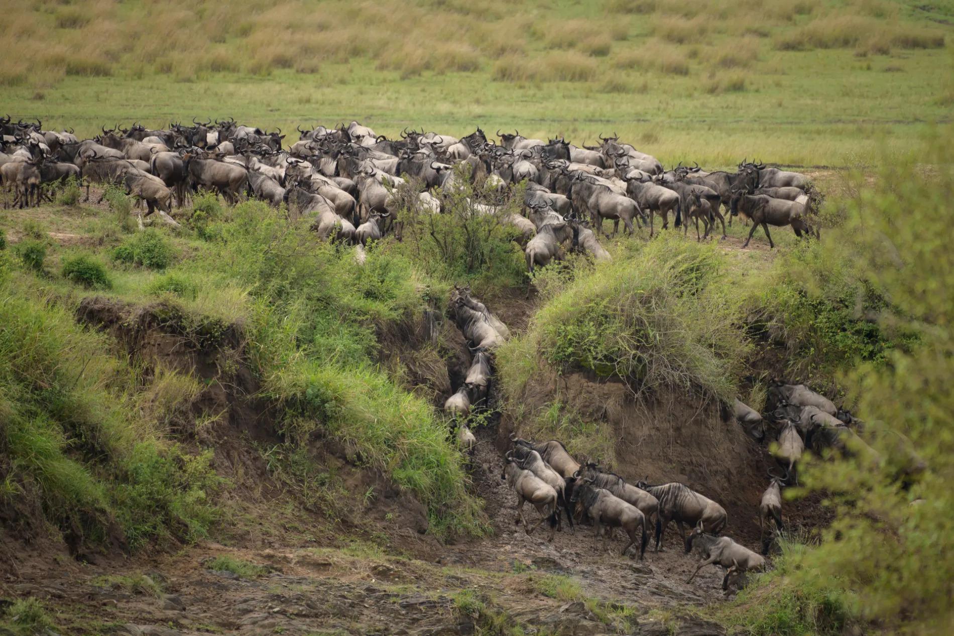 Wildebeest descending into crossing