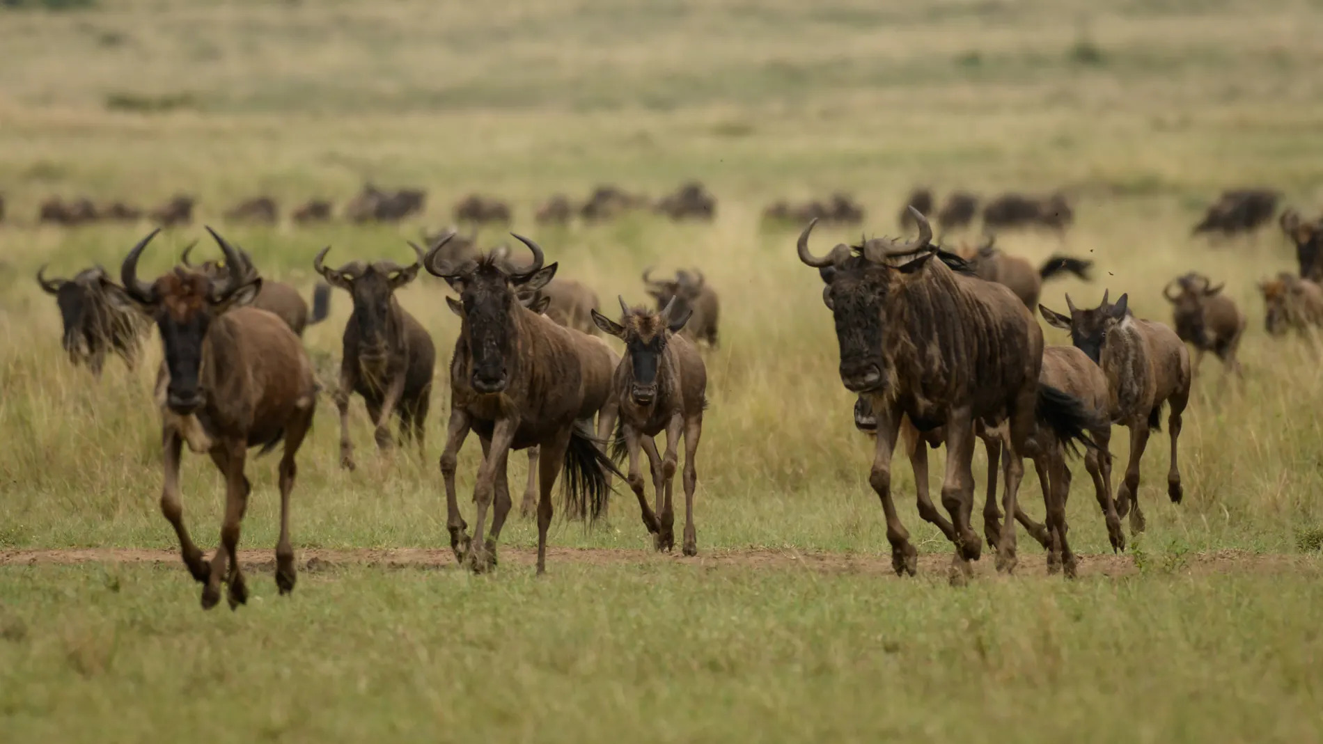 Group of wildebeest running