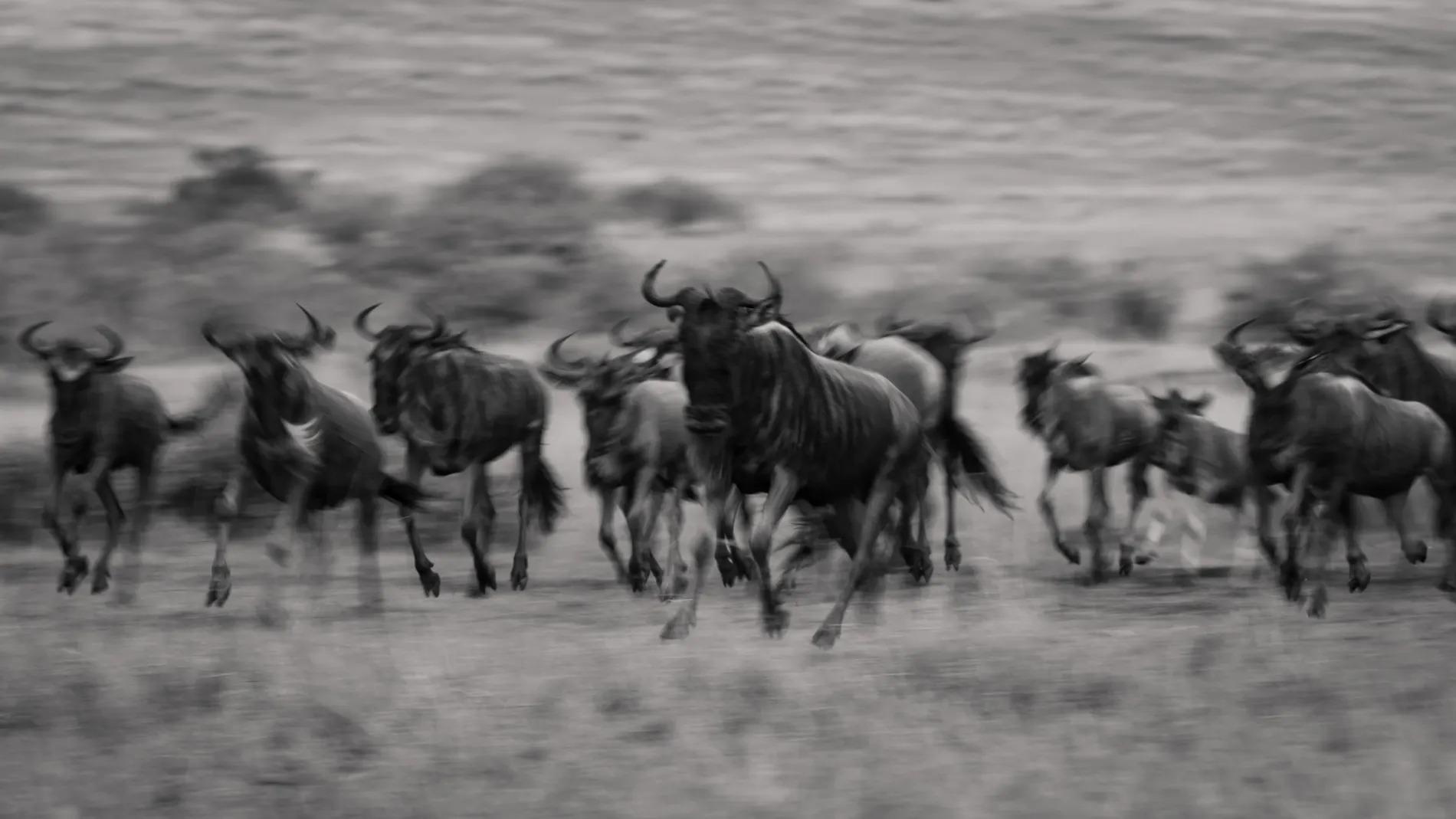 Wildebeest group BW